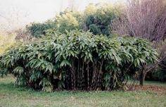 massif bambou