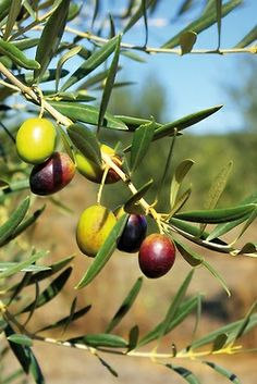 Must have an olive tree......  schöne farbige grün und schwarze Oliven am Olivenbaum in Italien, Toskana zur Olivenernte fast bereit