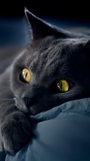 Discover The Russian Blue Cats - Cat's Nine Lives Beautiful Cats, Animals Beautiful, Cute Animals, Gorgeous Eyes, Cute Kittens, Cats And Kittens, Animal Gato, Gatos Cats, Photo Chat