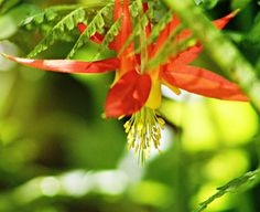 Sandra's Alaska Photographs: June 21, 2012: A red columbine bursting and blossoming in the much-needed sunshine in Juneau, Alaska...