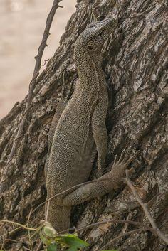 sri lanka safari monitor lizard