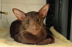 oriental shorthair cats kittens catbreed