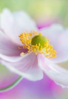 Japanese Anemone by Mandy Disher, via Flickr