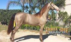 TDR Sjoerd's Wicked Cool World Champion Classic Champagne Friesian Saddlebred Stallion