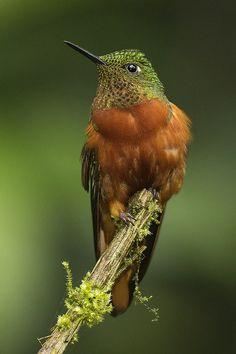Chestnut-Breasted Coronet (Boissonneaua matthewsii) is a species of hummingbird in the Trochilidae family.
