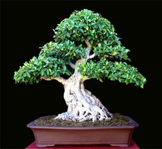 Wiandi Bonsai - this type of ficus has wonderful light colored, smooth bark and beautiful natural curving style growth that is perfect for Bonsai.