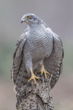 The Queen..... - The Queen of the forest: a adult female northern goshawk (wild animal)...... You have got to love nature and its creations. Have a great day, my friends!
