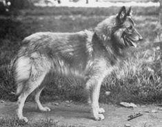 Willy de la Garde Noire 1948 (LOF 100) descendant des Groenendaels à forte consanguinité de L'étoile Blanche remis sur des axes du Mont-Sara .