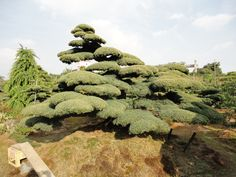 pinus pentaphylla pièce exceptionnelle