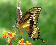 It's the Giant Swallowtail (Papilio cresphontes), the largest butterfly in the United States. With a wingspan that can measure over 6 inches, this is one butterfly that will definitely catch your attention!