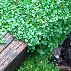 grow corsican mint ground cover