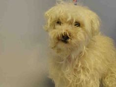 KOUKOUNI - A1046593 - - Brooklyn  TO BE DESTROYED 08/20/15  Ugh, it really isn't right to drag out a dog's demise like this. It's tough enough that Koukouni's owner died leaving him stranded in the shelter. But Koukouni needs veterinary attention immediately due to some nerve damage about the left side of his face and eye. KK couldn't be more friendly but that eye – it's oozing some sort of purulent discharge and needs to be medicated sooner rather than la
