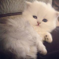 Beautiful Silver Shaded Persian Kitten