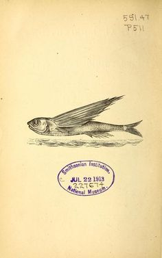 nemfrog:  Flying Fish. Animal Locomotion or Walking, Swimming and Flying. James Bell Pettigrew. 1874.