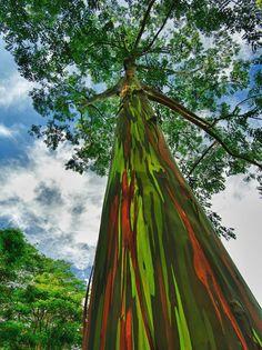 Regenbogen Eukalyptus, Hawaii