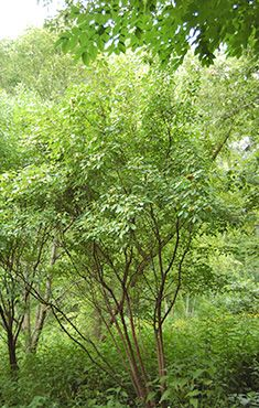 Wafer Ash (Hop Tree) - Ptelea trifoliata | Trees and Shrubs of the Eloise Butler Wildflower Garden