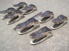 "5 1/2"" - 6 1/2"" long - Alligator Head - REAL"
