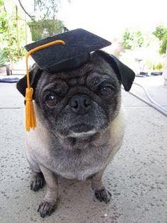 Graduation Pug