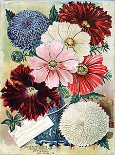 Cosmos SeedSelect Nursery http://www.sil.si.edu/digitalcollections/SeedNurseryCatalogs/CF/TL_SeedsSelectImages.cfm?subject=Cosmos