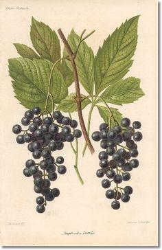 ♥Revue Horticol - Botanical Print - Illustrated Book Plate Illustration from Revue Horticole 1800s - Botanical Print - 09 - WINE GRAPE Painting