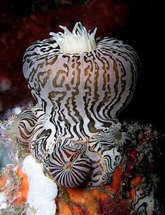 unusual sea anemone, looks like zebra stripes - (CC) Nick Hobgood - www.flickr.com/photos/globalvoyager/91754643/in/set-72057594122788142