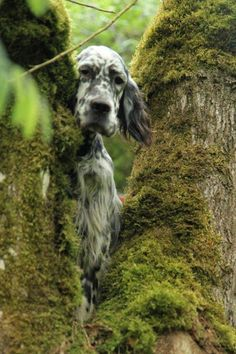 English Setter.W. Conkle - Lizze likes to be where the birds are.