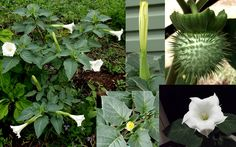 White Annual; Datura - Angel Trumpet Moon Flower.  Self seeds
