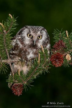 Boreal Owl hunting at dusk | Mike Lentz