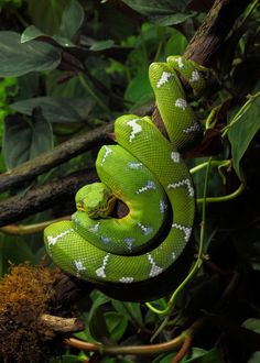 Our #AnimaloftheWeek is the Emerald Tree Boa. Did you know this reptile is nocturnal? During the day its body is wrapped around a tree branch with its head resting on top. At night it will lift its head in search of food, in a posture that is ready to strike.