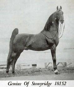 American Saddlebred   Genius of Stonyridge   AMAZING AMERICAN SADDLEBRED'S