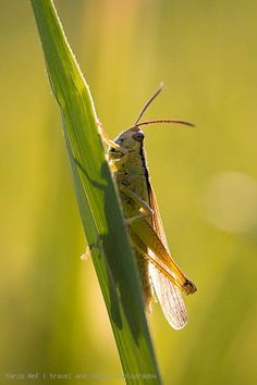 Close-up of grasshopper on reed leave in backlight situation.
