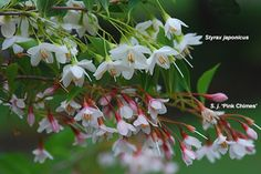 Japanese Snowbell Styrax japonica - Grows 15-25' tall & wide, sun-part shade, Z5