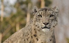 "Victory! Etsy Bans Endangered Animal Products -  ""Earlier this spring, the Snow Leopard Trust raised concerns about illegal listings for products made with endangered animal parts, which were spurred by an item that was listed as ""genuine real snow leopard fur."" After attempting to have their concerns heard by Etsy, they created a Care2 petition that has since gathered more than 33,000 signatures""."
