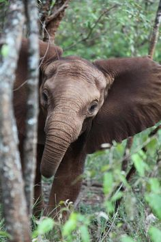 Volunteer with Via Volunteers in South Africa and be amazed by our stunning wildlife! Baby Elephant playing hide & seek with us! All About Elephants, Elephants Never Forget, Save The Elephants, Baby Elephants, Animals And Pets, Baby Animals, Cute Animals, Wild Animals, Beautiful Creatures