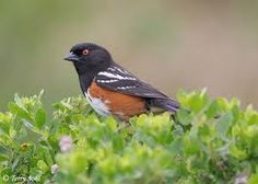 Rufous sided towhee 1st seen on our lot 4/22/96