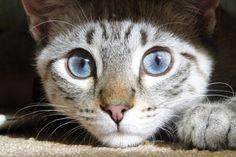 Un Chat Noir - Lynx Point Siamese. My favorite breed.