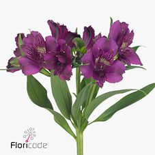 Alstroemeria Amatista - 2018 Wedding Trend: Ultra Violet Purple. For lilac and purple wedding flowers to suit your colour scheme, visit our website at www.trianglenursery.co.uk/fresh-flowers!