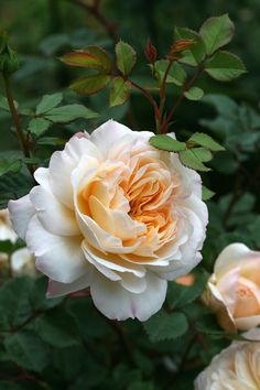 ~Rosa 'Crocus' ~ English rose.