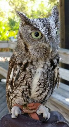 Little Owl at a Florida State Park