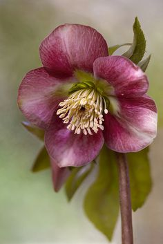 ☀Hellebore by Mandy Disher on Flickr*