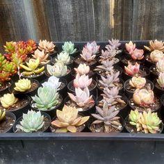 New stock Terrarium Plants, Succulent Terrarium, Buy Succulents Online, Cacti, Wedding Favors, Roots, Shop, Etsy, Cactus Plants