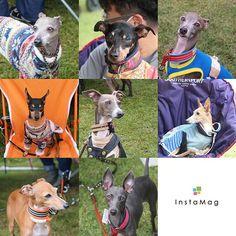 WEBSTA @ igsionagi05 - 実行委員の皆さん、雨の中タープを必死に支えてくれた皆さん、お手伝いされてた皆さん、ありがとうございました❗ご挨拶できなかった方、写真載せれなかった子ごめんなさい#イタリアングレーハウンド#イタグレ#Italiangreyhound #iggy#instadog#海おさ #umiosa#足柄coco