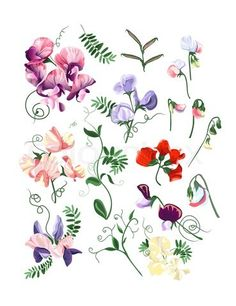 Stock vector of 'Colorful realistic set of sweet pea flowers and leafs.'