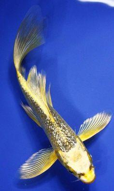 Butterfly Koi: Beautiful Koi, Aquatic, Koi Fish, Aquarium, Fish Koi ...