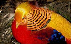 Golden Pheasant by Barbara #bird #birds #colorful birds