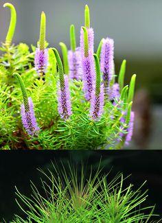 Endless list of favorite aquatic plants: 20/* → Pogostemon erectus (upper picture shows emersed plant) (photos © by flowgrow.de)