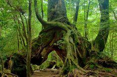 Some are giant trees on Yakushima Island, Japan.