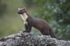 So this is what a marten looks like. Glad they're still around. Pine marten (Martes martes) climbing tree, Cairngorms National Park