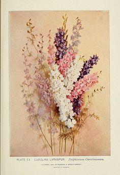 Carolina Larkspur - Delphinium Carolinianum