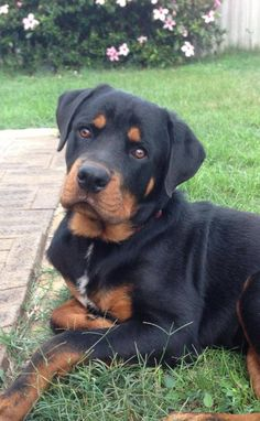 please love me - #rottweiler